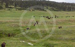 Large Herd of Bison on Prairie