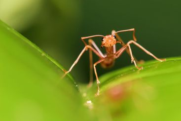 agressive red ant guard