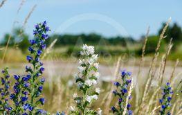 Vit och blå blåeld blommar vid en vägkant på södra Öland