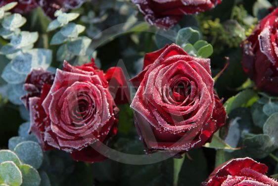 Frosted red roses