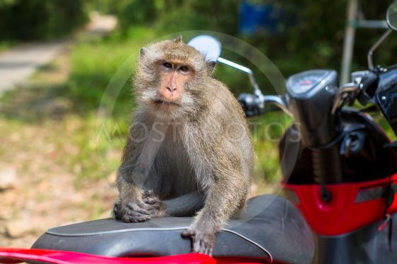 Monkey sitting on a motorbike, Thailand.