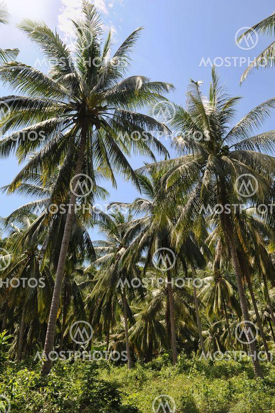 Jungle. Samui island, Thailand