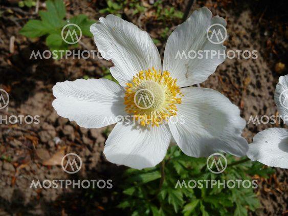 Vit anemone