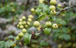 Gula vildäpplen i närbild