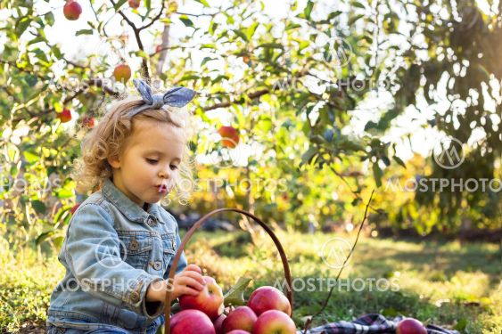 Cute little girl child eating ripe organic red apple in...