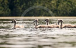 Beautiful swans with cubs on a pond. Natural colorful...