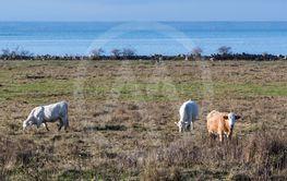 Betesdjur i en kustnära betesmark på Öland