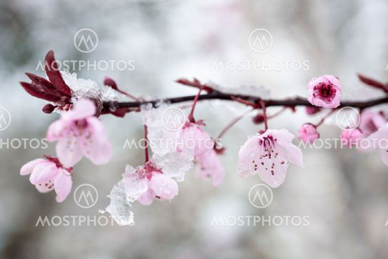 Cherry blossom and snow 1