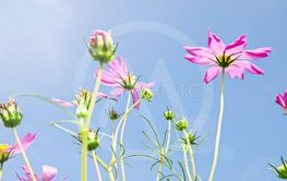 Cosmos Flowers on blue sky.