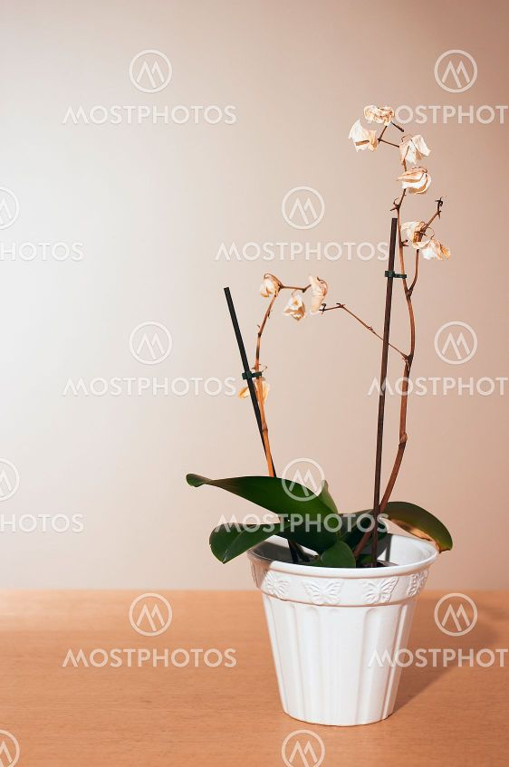 Kuollut orchid