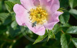 thick-legged flower beetle (Oedemera nobilis)