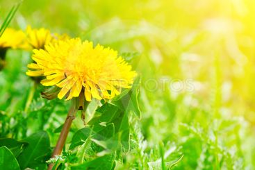 Green field with yellow dandelions and sun.
