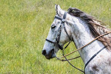 American quarter horse portrait, California