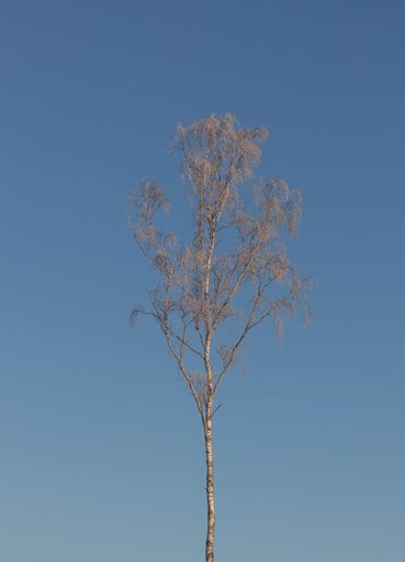 Isolated birch tree with hoar frost