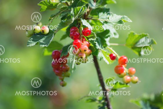 red gooseberries in a field by sunny day
