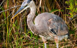 Blue heron in Everglades