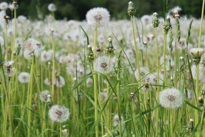 dandelions, field, white dandelions