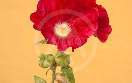 red Hollyhock on yellow background