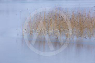 Reeds in the Frozen Lake