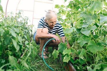Elderly senior woman watering plants with hose in garden...