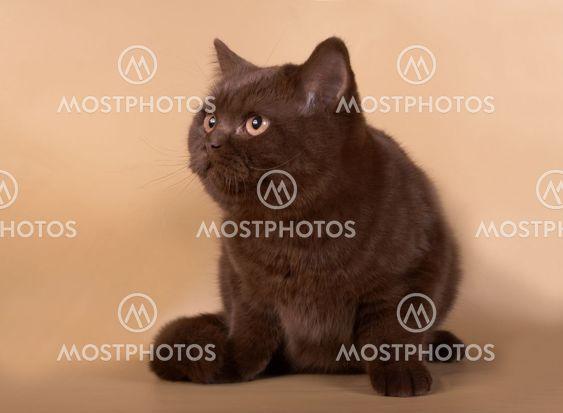 Brittiska katten
