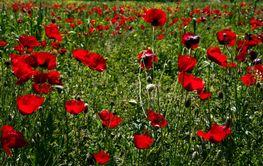 poppy,poppy flower, weasel, stoat, corn poppy, corn rose