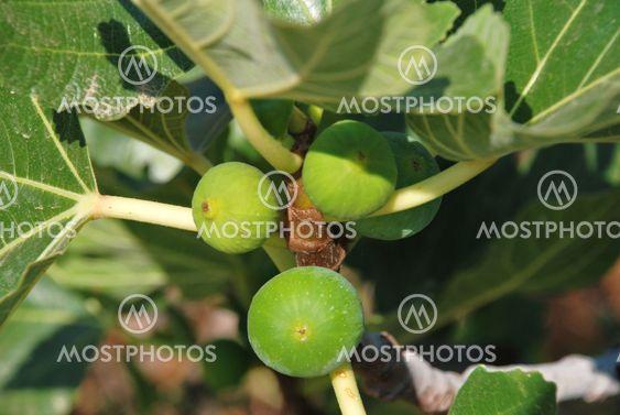 Grønne figner, Halki