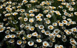 daisy,camomile, marguerite, golden daisy,