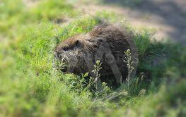 muskrat cub in search of food