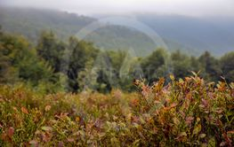 Ripe blueberries growing at the Carpathian mountains