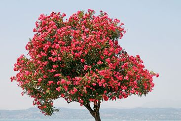 Sirmione, Oleander tree at the Lake of Garda.