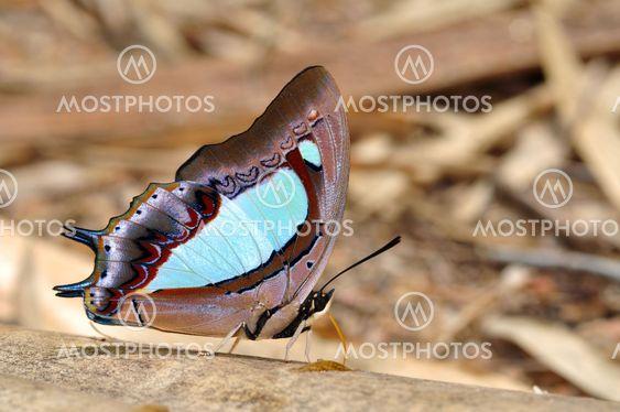 ฺฺButterfly (pallid nawabม Polyura arja)