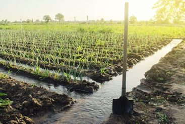 Irrigation canals with water on the plantation field....