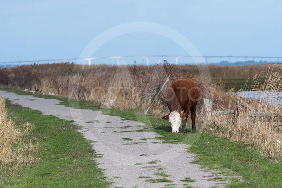 Betande ko i Beijershamns naturreservat på Öland