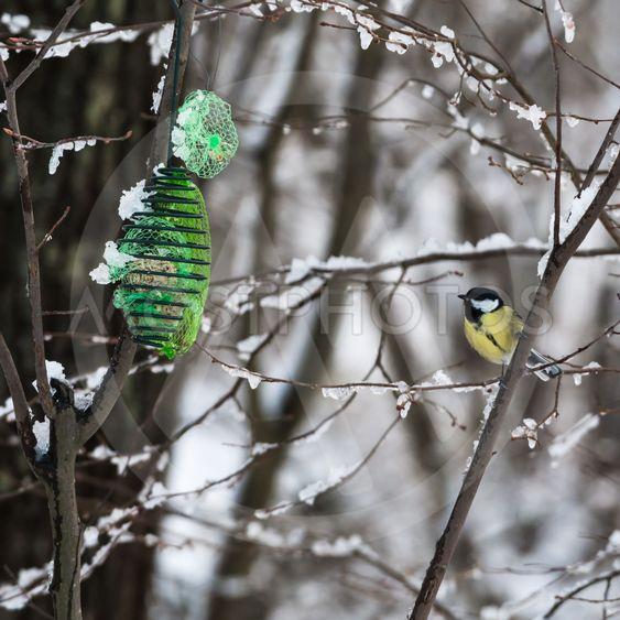Great Tit by a bird feeder in winter season