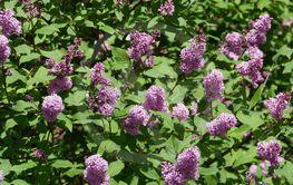fragrant lilac flowering bush