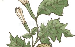 Datura Stramonium Illustration