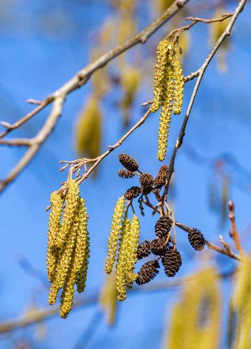 Blooming hazel tree branches during spring season