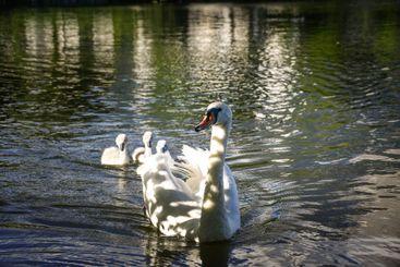 White swan flock in summer water. Swans in water.