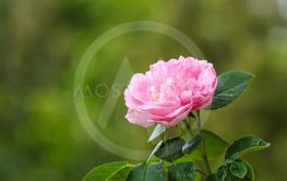 One pink rose closeup