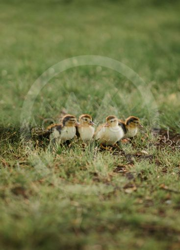 four small ducks on the grass. young ducks baby mallards...