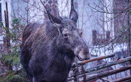 Älg besök på våran gård utanför Stockholm