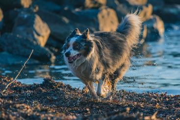 Cute Border Collie dog running out from the water in...