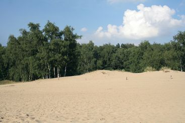 Sand dunes and birch trees