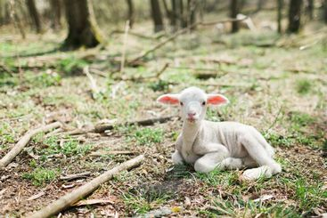 Cute lamb lying on grass in the forrest on bio farm.