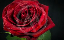 Röd ros med vattendroppar