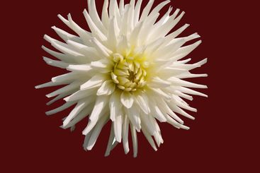 White aster on a brown background