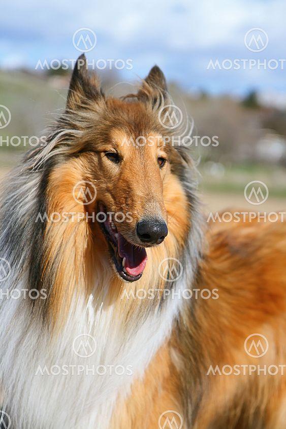 Lassie Hund
