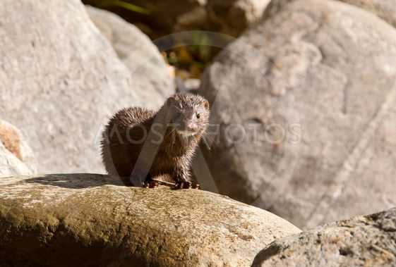Mink amongst the rocks