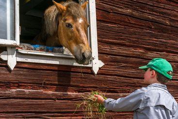 Häst tittar ut genom fönster och matas av liten pojke .